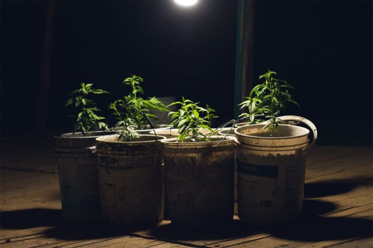 Cannabis under grow lights