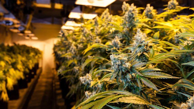 Cannabis Indoor Grow Room