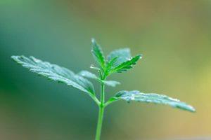 Small Marijuana Plant
